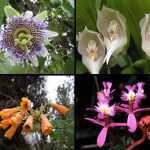 Nuevas especies de orquídeas en Cusco